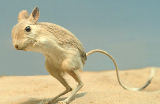 jerboa the life of animals