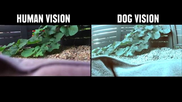 Penglihatan Anjing
