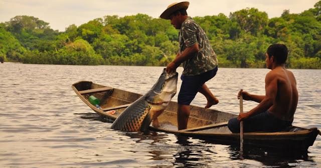 Manejo do pirarucu em Guajará-Mirim, tem aumento de 78%