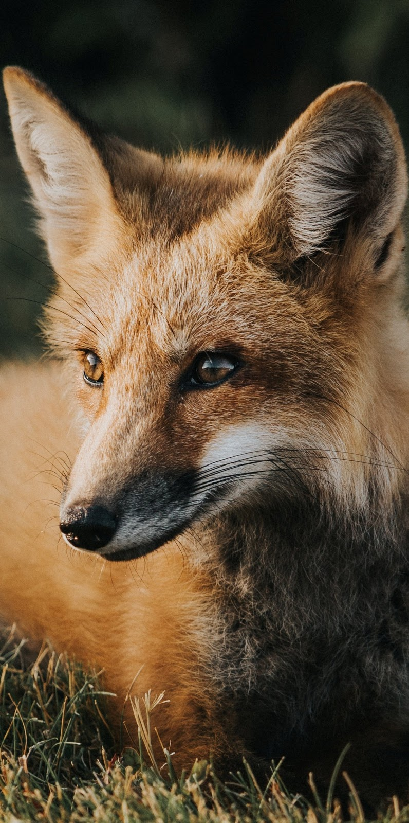 Red fox face photo.