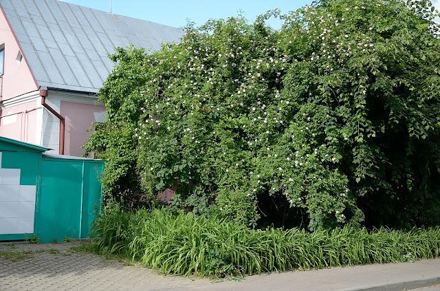 Шиповник в Беларуси