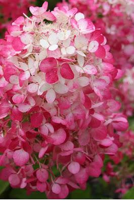 hydrangea haven bundle creates spring beauty 2