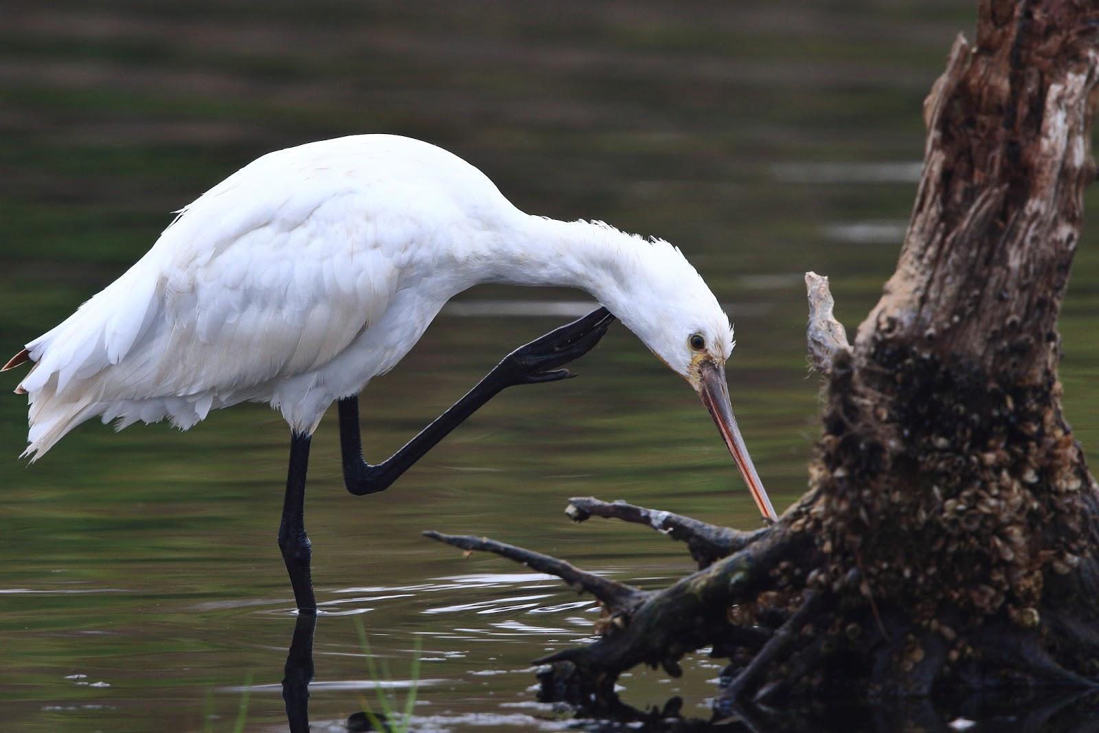 雀鳥攝影: 白琵鷺 @ 嘉義布袋,鰲鼓溼地