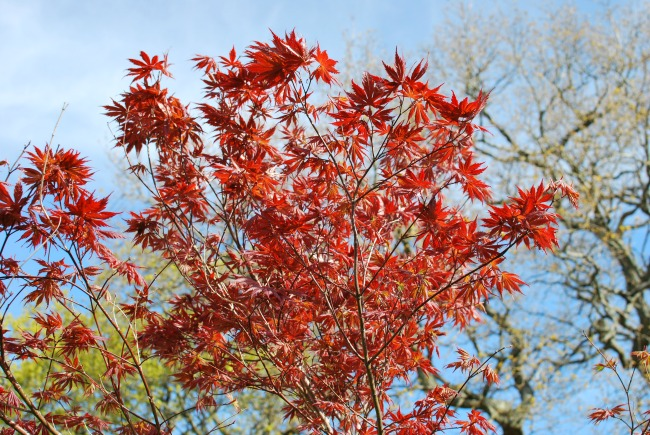red, orange of maple against blue sky