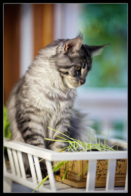 Stalone, the Maine Coon
