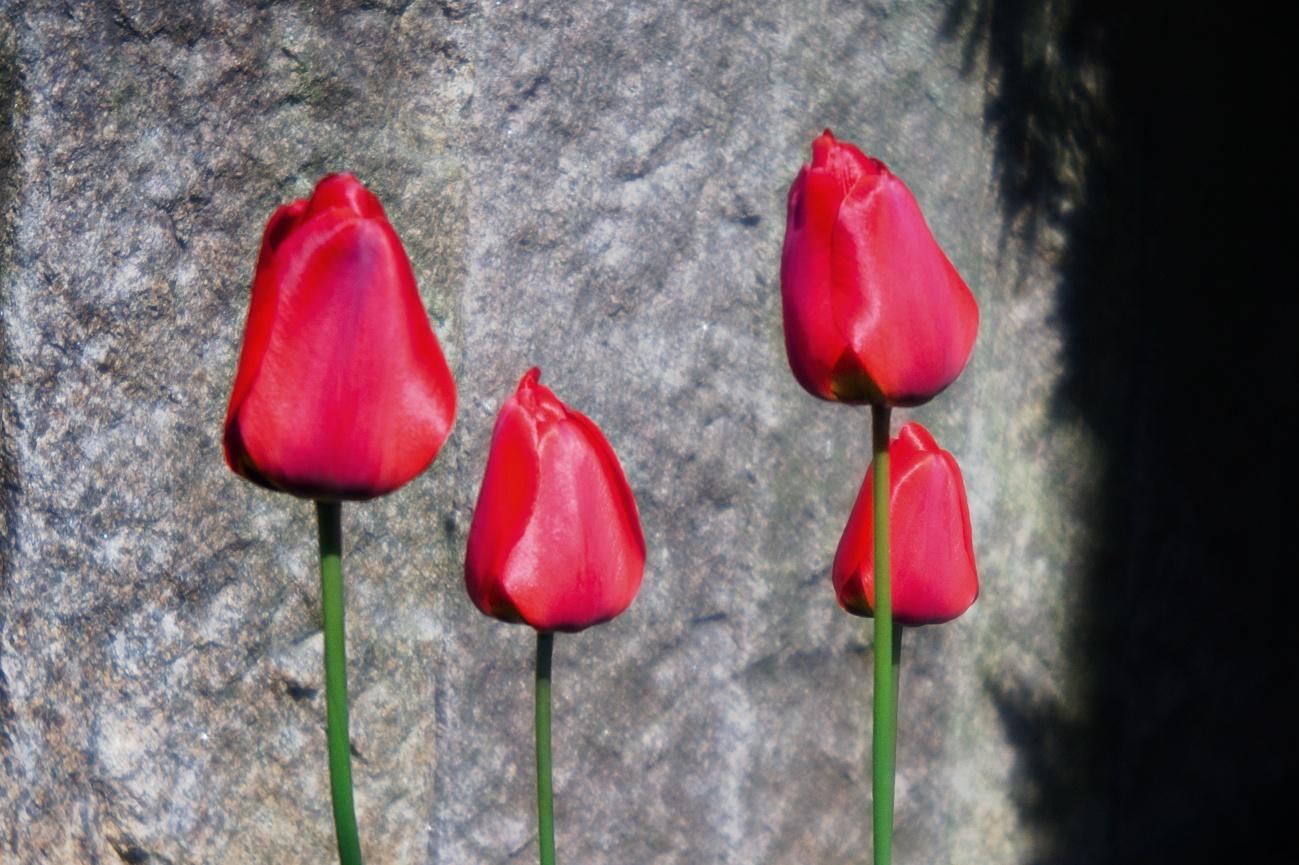 Meine Tulpenrasselbande