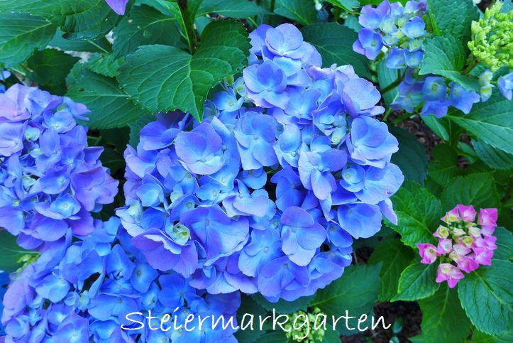 Bauernhortensie-blau-Steiermarkgarten