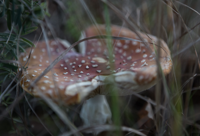 myrkyllinen sieni