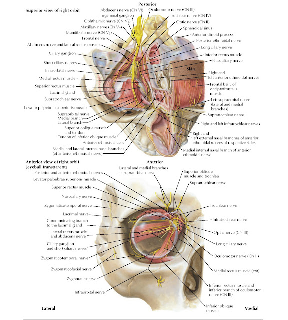 Superior and Anterior Views of Orbit Anatomy