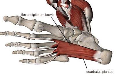 Anatomi quadratus plantae pada tubuh manusia. Bahasan anatomi origo quadratus plantae, insersi, aksi, persarafan, dan arteri otot quadratus plantae.
