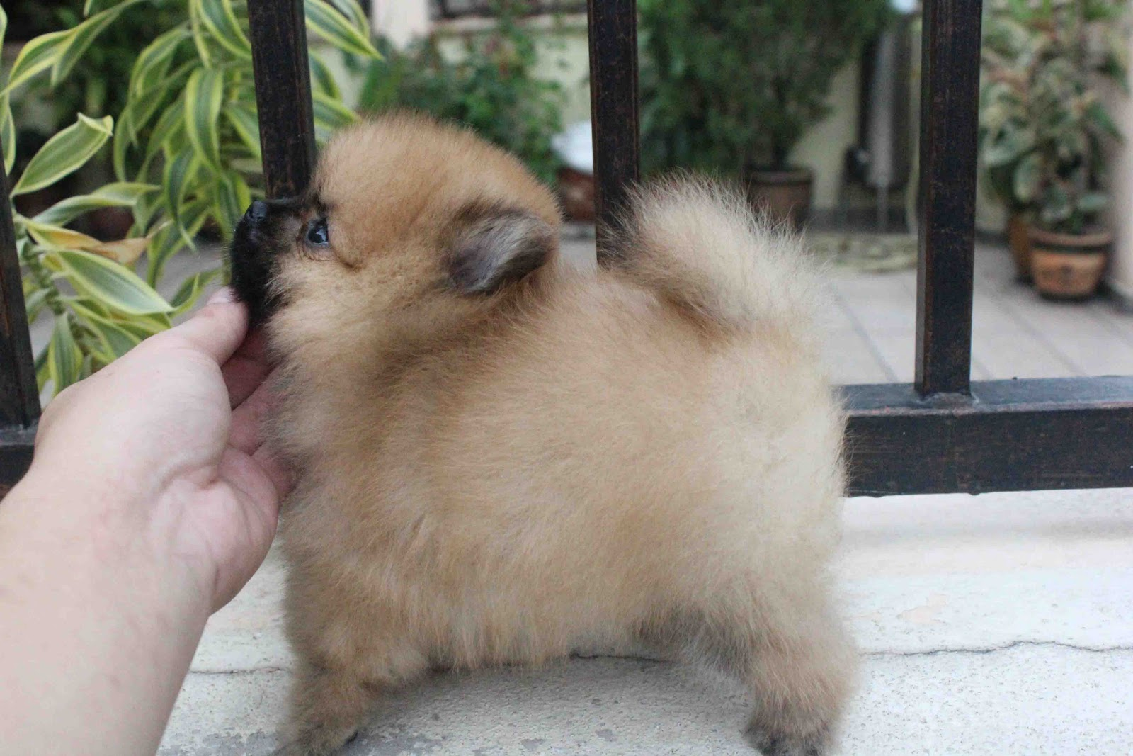 Lovelypuppy 20130717 Black Mask Brown Color Pomeranian Puppy With