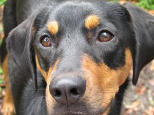 Black and Tan Coonhound dogs - Pets Cute and Docile