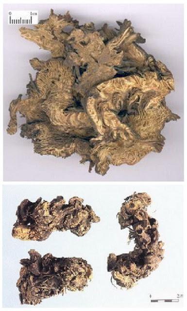 Củ Thăng Ma - Cimicifuga foetida - Nguyên liệu làm thuốc Chữa Cảm Sốt