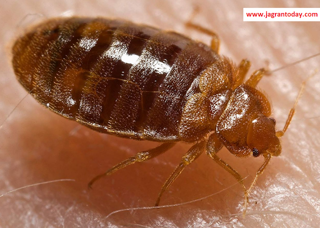 Home Remedies to Remove Bedbugs from House