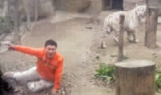 chinese man jumps into tiger cage
