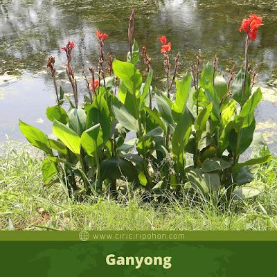 Ganyong
