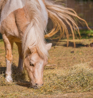 https://www.dreamstime.com/pony-eating-straw-flicking-its-tail-pony-eating-straw-flicking-tail-image102442789#res1853317