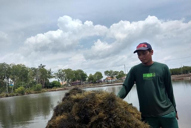 Dinas Perikanan Sinjai Sebut Produksi Rumput Laut Meningkat Tiap Tahun