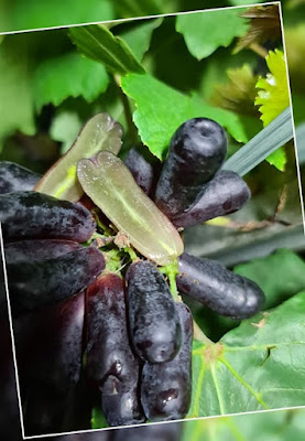 Jenis Anggur Moondrop Import