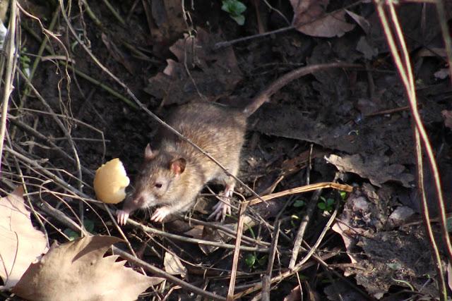 Una rata en la ribera del Castaños en Retuerto