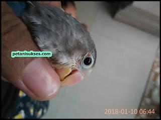 patek pada area mata lovebird