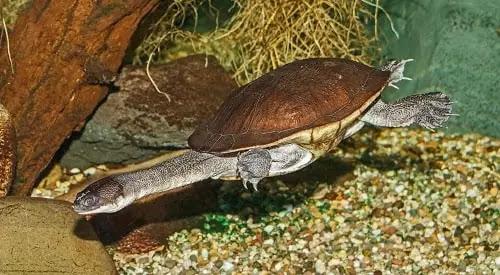 gambar reptil kura kura leher ular