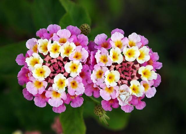 Hoa Bông Ổi - Lantana camara - Nguyên liệu làm thuốc Đắp vết thương Rắn Rết cắn