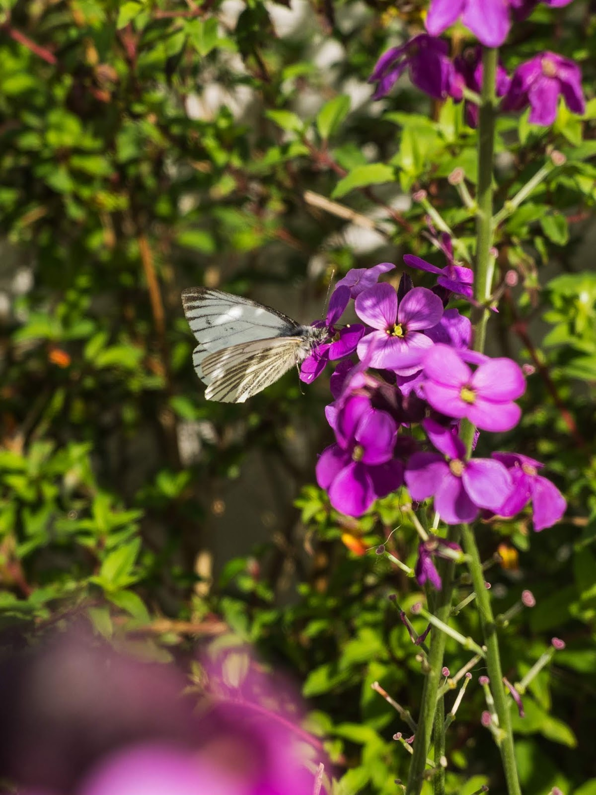 A Small White Butterfly sitting on purple Wallflowers in the sunlight.