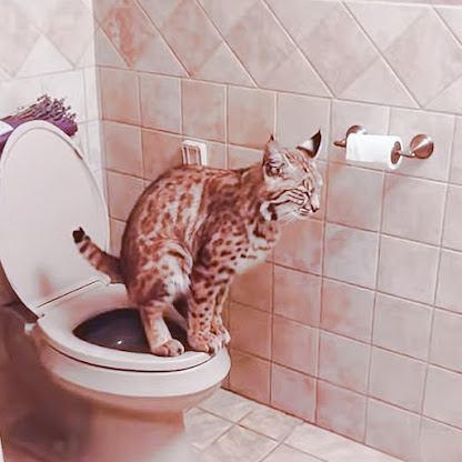 Bobcat peeing and pooping in a human toilet