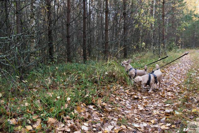 luonto, lenkkeily, koirat, chihuahua