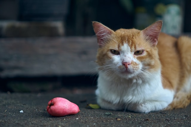 Kenapa Kucing Tidak Mau Makan Makanan Kucing