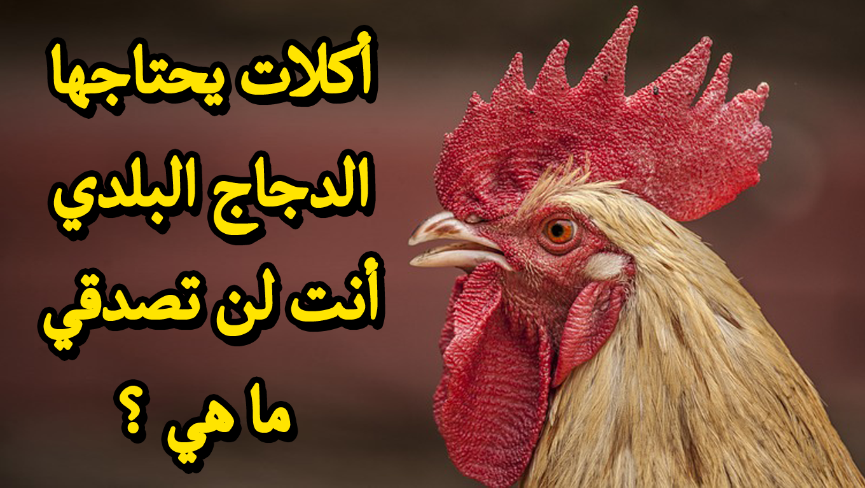 أكلات يحتاجها الدجاج البلدي أنت لن تصدقي ما هي