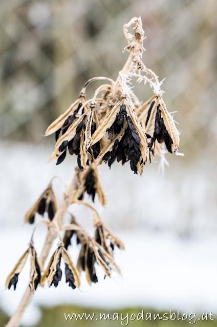 Samenstände einer Hosta mit Frost