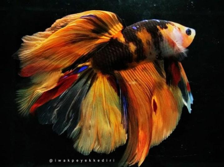 Inilah Jenis Ikan Cupang Koi Yang Terbagus Dan Termahal Di Dunia Cupang Sehat