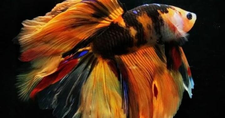 Inilah Jenis Ikan Cupang Koi yang Terbagus dan Termahal di ...
