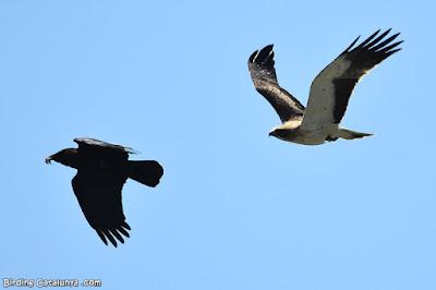 Àguila calçada perseguint una cornella