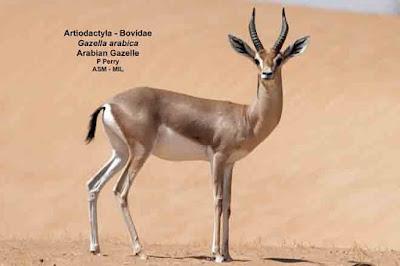 Gacela de Arabia (Gazella arabica)