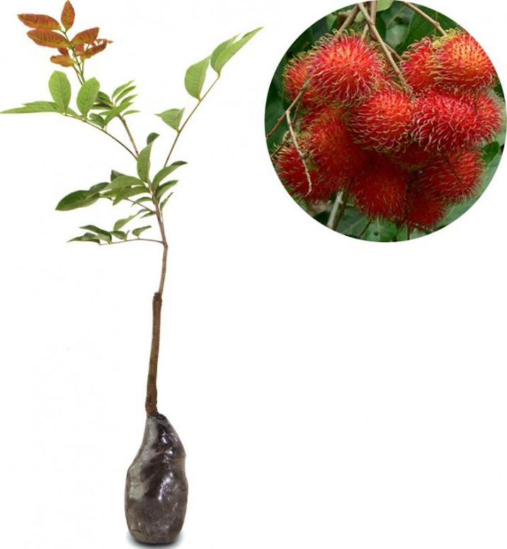 Bibit Tanaman Buah Rambutan Binjai Palembang