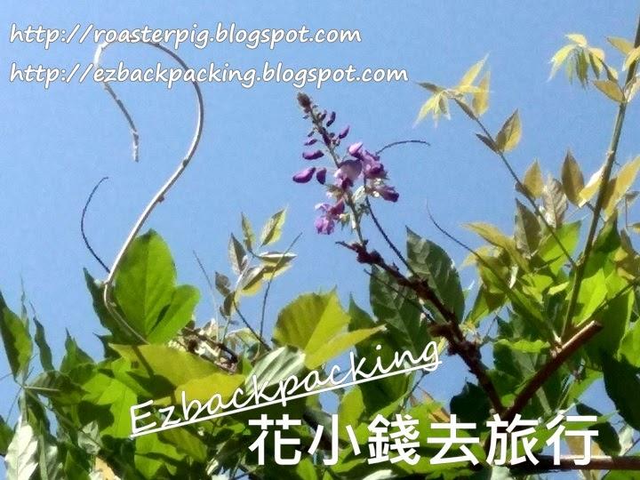 海心公園紫藤花