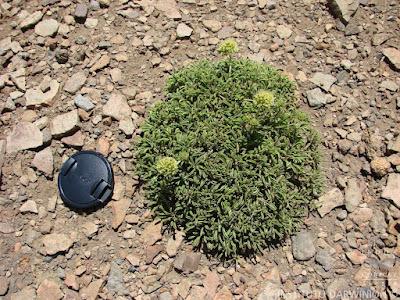 Gamocarpha alpina