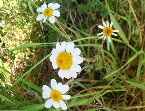 Margarita loca (Anacyclus clavatus)flor blanca