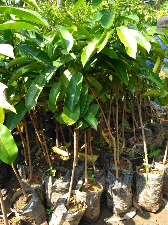 bibit tanaman buah sirsak madu Sabang