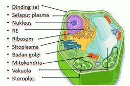 Sitoplasma dan Organel Sel