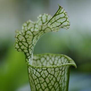 Photo de plante carnivore : Sarracenia sp. - Sarracénies non identifiées