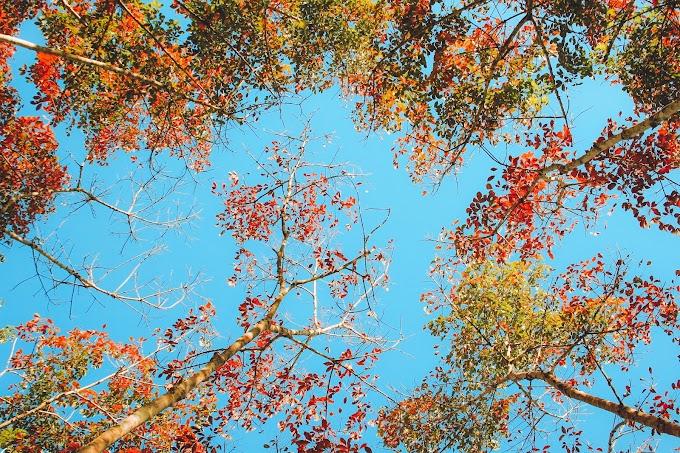 Cantiknya Pokok Getah Di Musim Luruh!