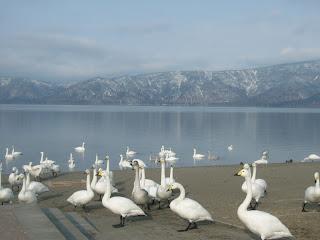 Yum: 天鵝湖