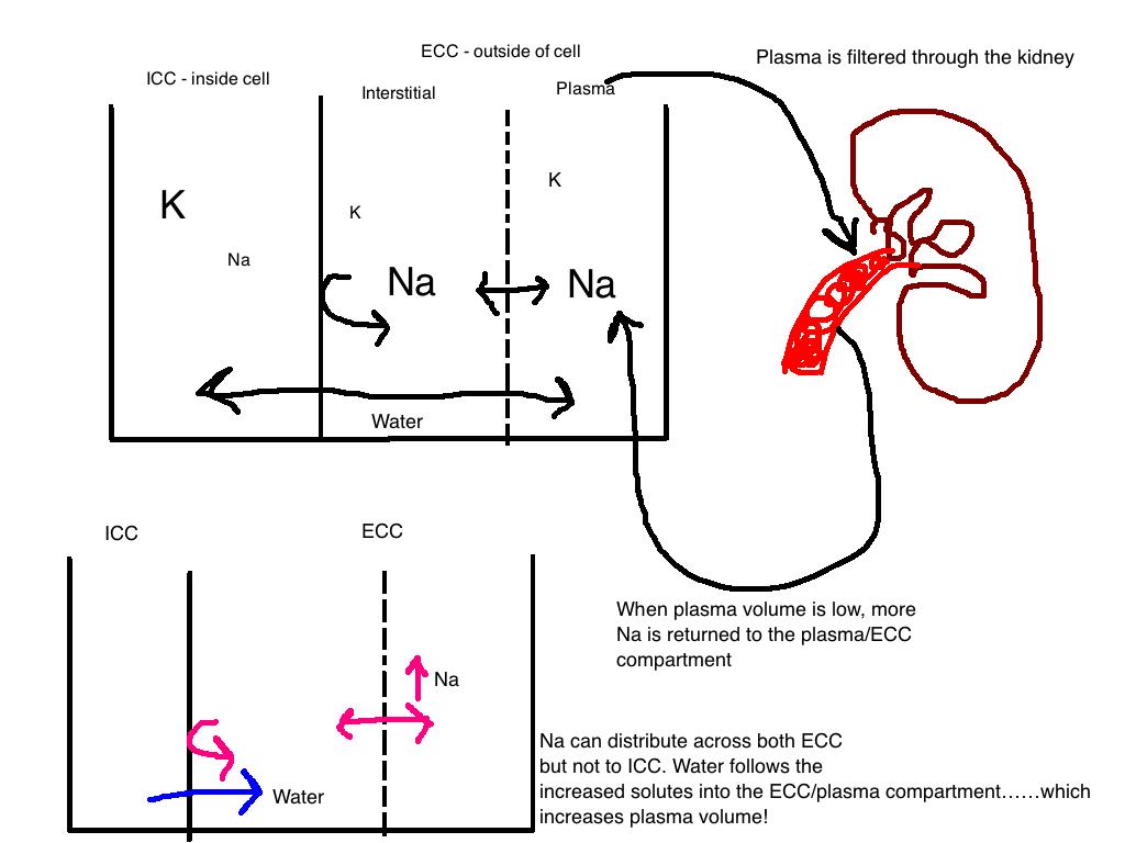 Acid Base Balance Part 2: Sodium and Intro to Plasma