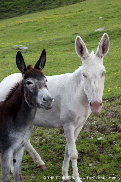 A brown and a white donkey with blue eyes roaming free on the road in Kühtai in Austria