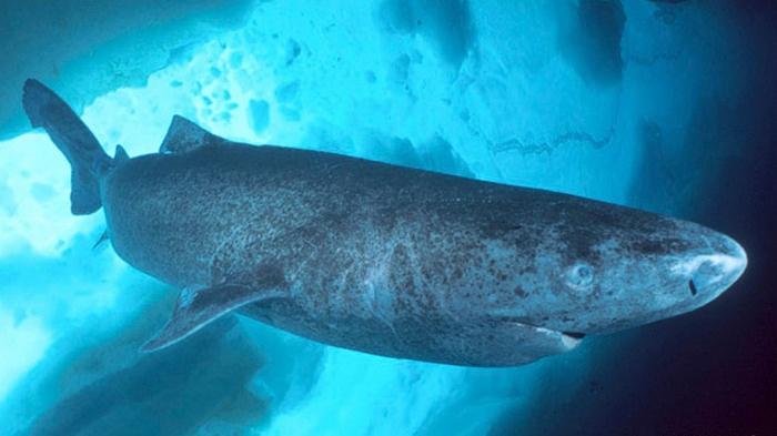 10 Organisme atau Makhluk Hidup yang Mampu Bertahan Hidup Di Tengah Kondisi Esktrem, Greenland Shark, Hiu Greenland