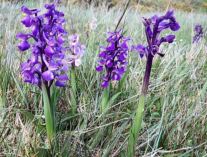 L'Orchis Bouffon